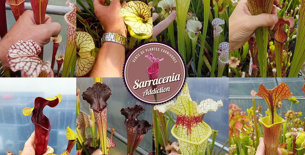 SUPER MIX 200 seeds Pack of Sarracenia seeds 2020/2021, carnivorous plants rare