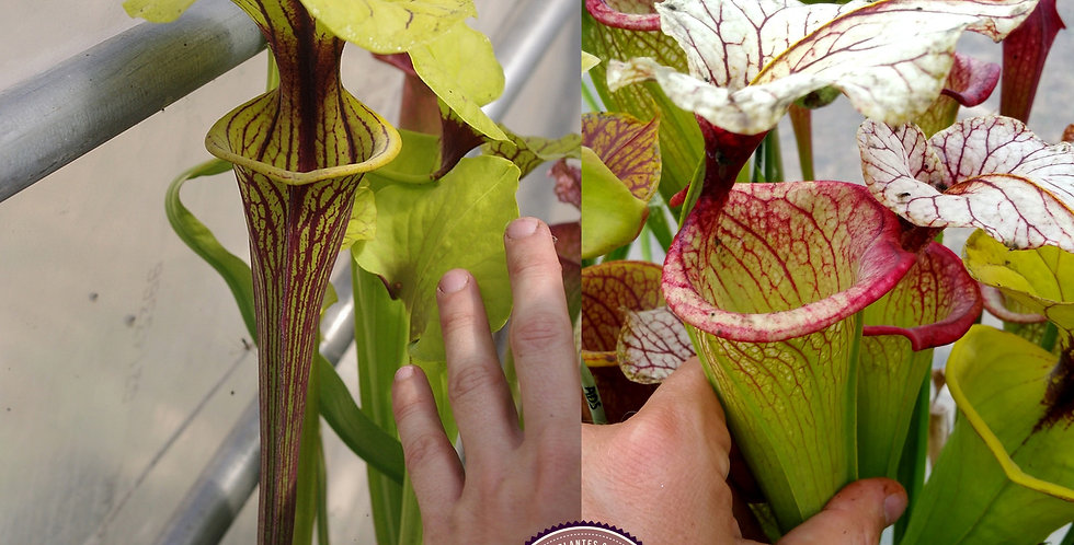 88) Pack of Sarracenia seeds 2019/2020, carnivorous plants rare