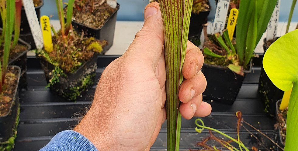 """SA151 : Leucophylla L64 MK x Flava """"Tall"""""""