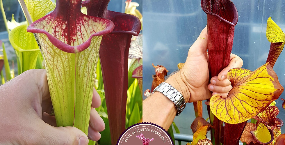 144) Pack of Sarracenia seeds 2020/2021
