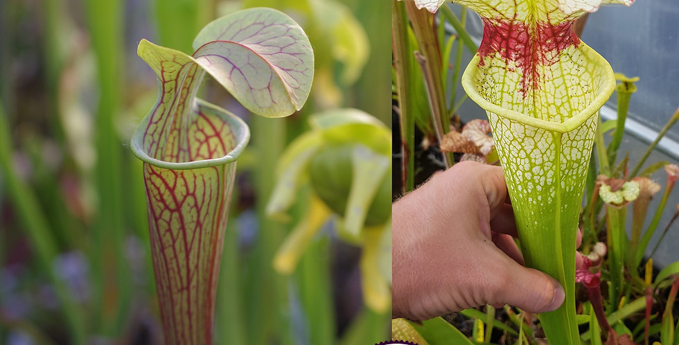 46) Pack of Sarracenia seeds 2019/2020, carnivorous plants rare