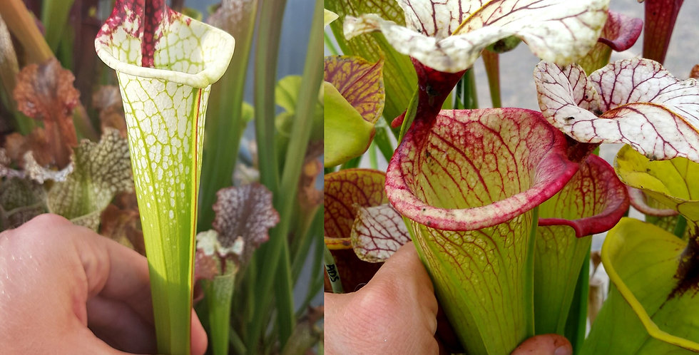 136) Pack of Sarracenia seeds 2019/2020, carnivorous plants rare