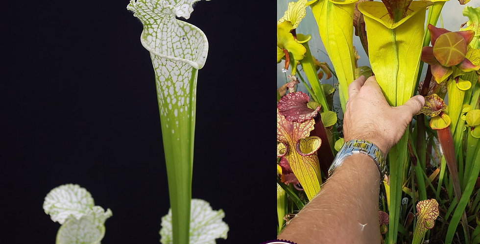 138) Pack of Sarracenia seeds 2020/2021