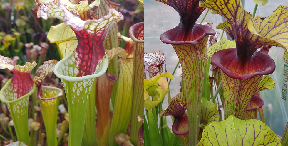 11) Pack of Sarracenia seeds 2019/2020, carnivorous plants rare