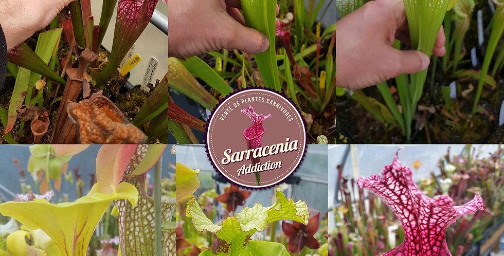 Mix) Pack of Sarracenia seeds 2019/2020, carnivorous plants rare