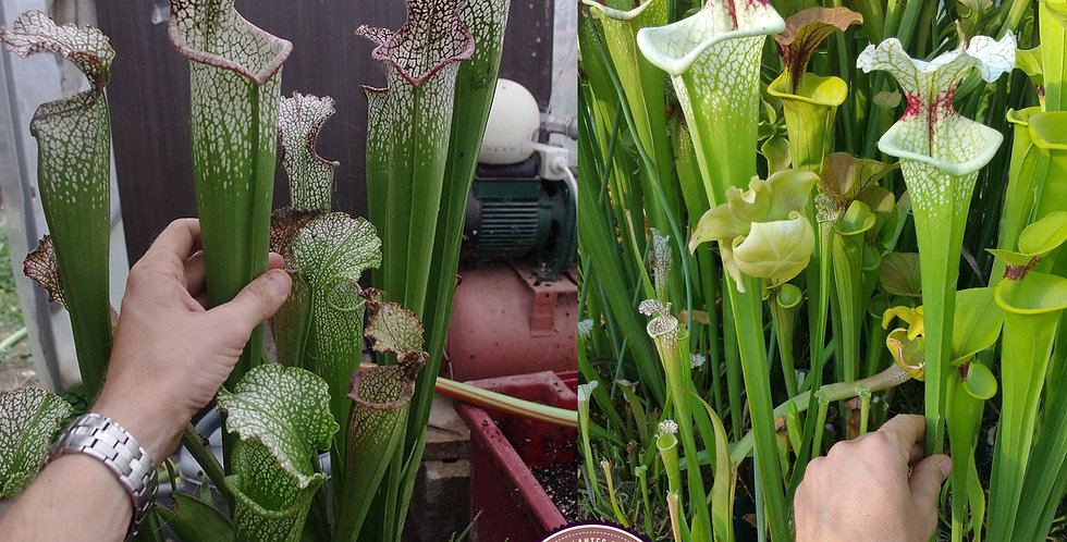 127) Pack of Sarracenia seeds 2019/2020, carnivorous plants rare