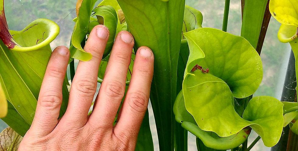 Oreophila x Flava Maxima, very vigorous