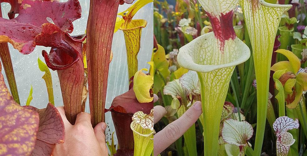 48) Pack of Sarracenia seeds 2019/2020, carnivorous plants rare