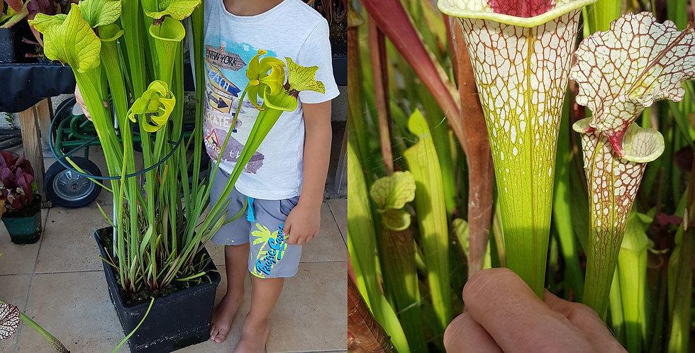 79) Pack of Sarracenia seeds 2020/2021