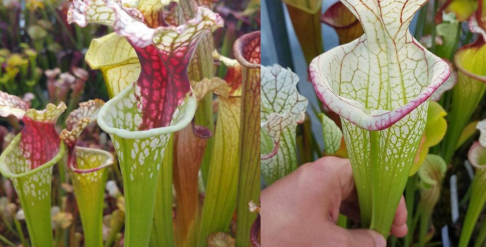 78) Pack of Sarracenia seeds 2020/2021