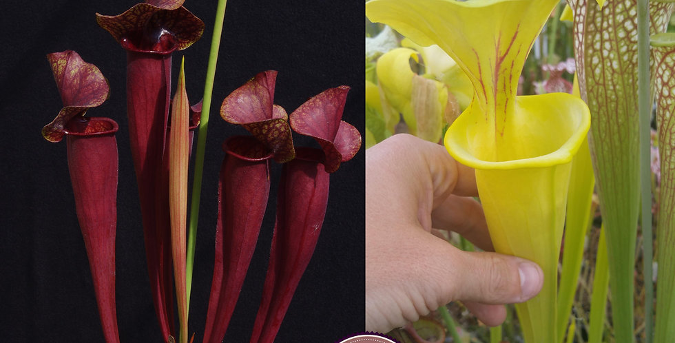 84) Pack of Sarracenia seeds 2019/2020, carnivorous plants rare