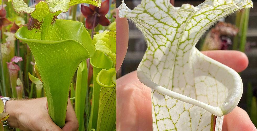 154) Pack of Sarracenia seeds 2020/2021