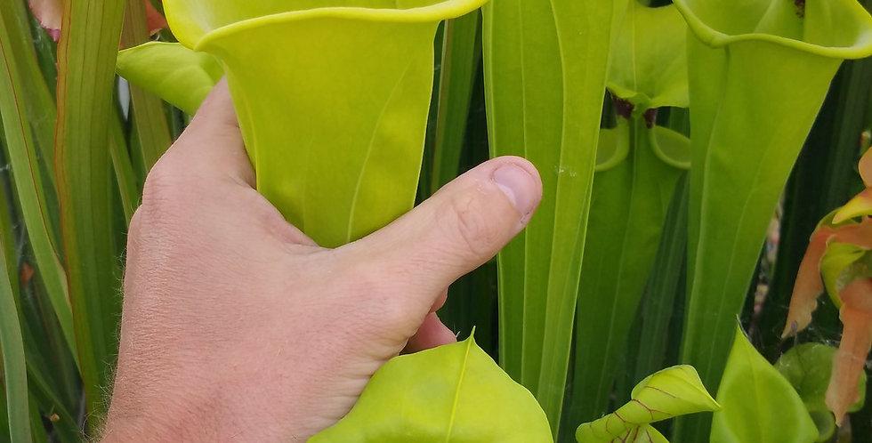 Flava Rugelii giant robust clone F18 MK