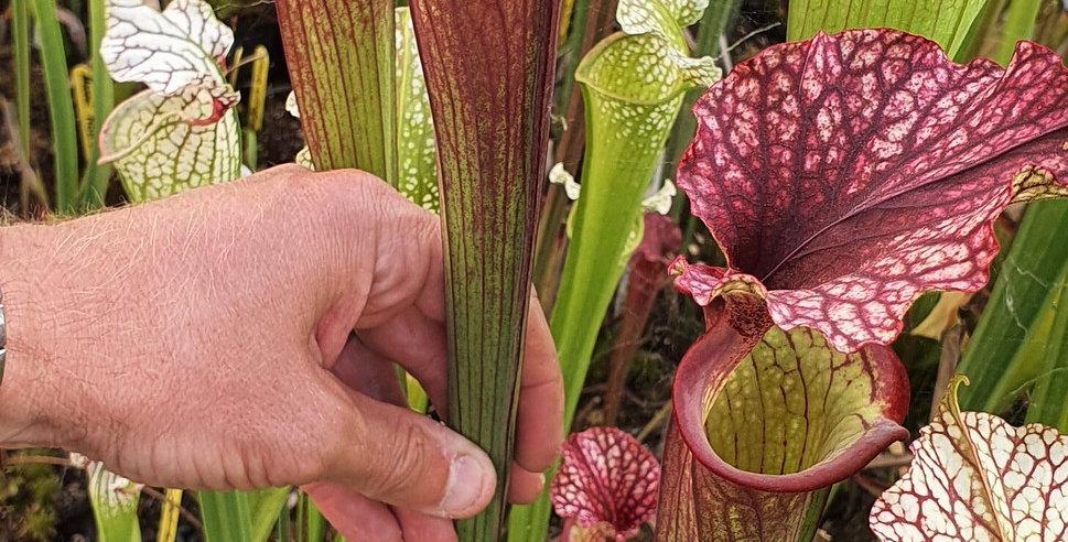 Sarracenia Leucophylla Helmut's Delight OP (OBH5)