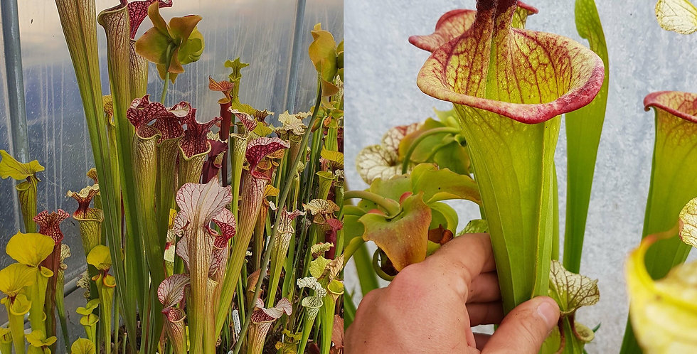142) Pack of Sarracenia seeds 2020/2021