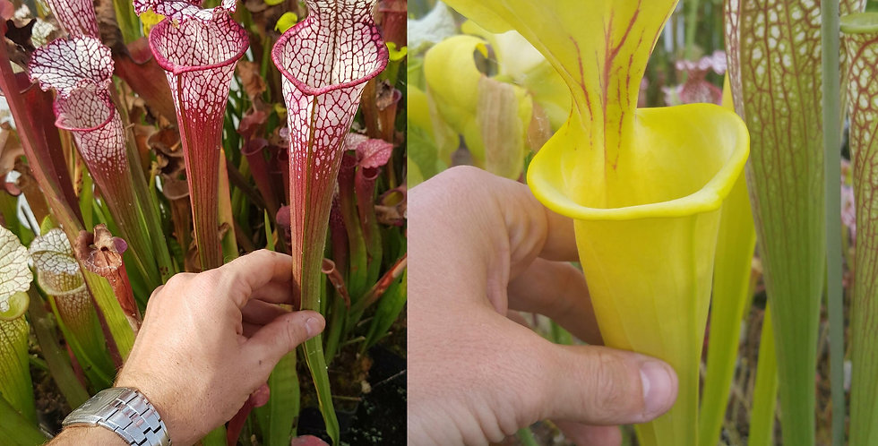 13) Pack of Sarracenia seeds 2019/2020, carnivorous plants rare