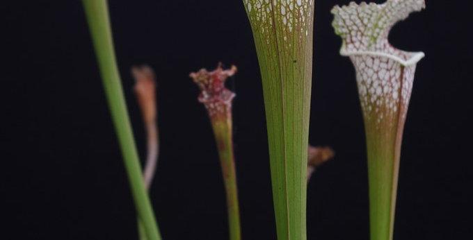 S. Leucophylla -- 'Cronus' (Titan tm), Botanique (L47,MK)