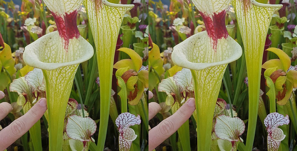 51) Pack of Sarracenia seeds 2020/2021