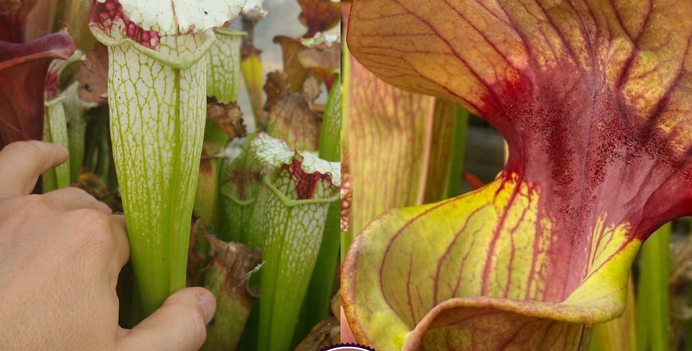 92) Pack of Sarracenia seeds 2020/2021