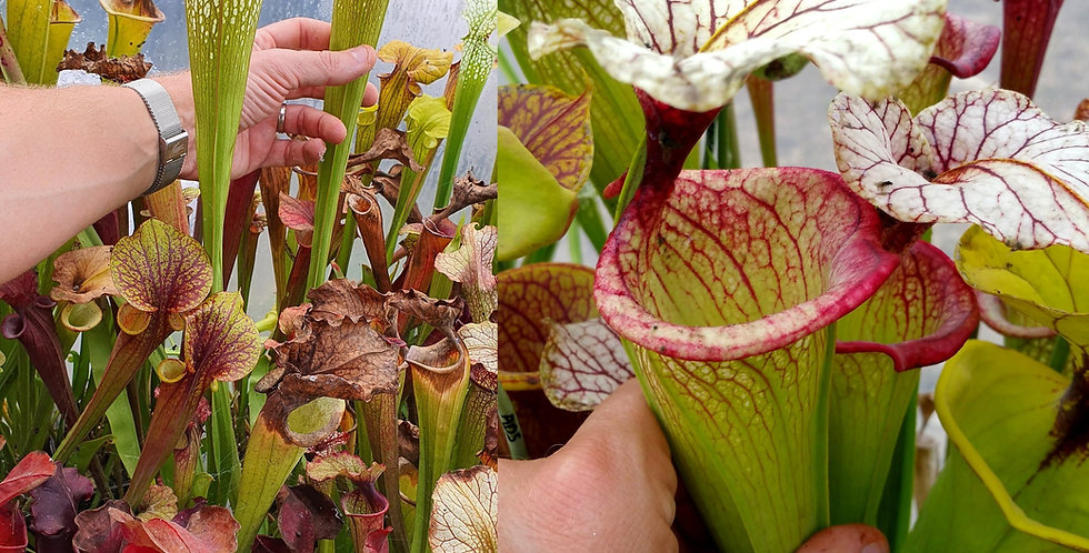 63) Pack of Sarracenia seeds 2020/2021