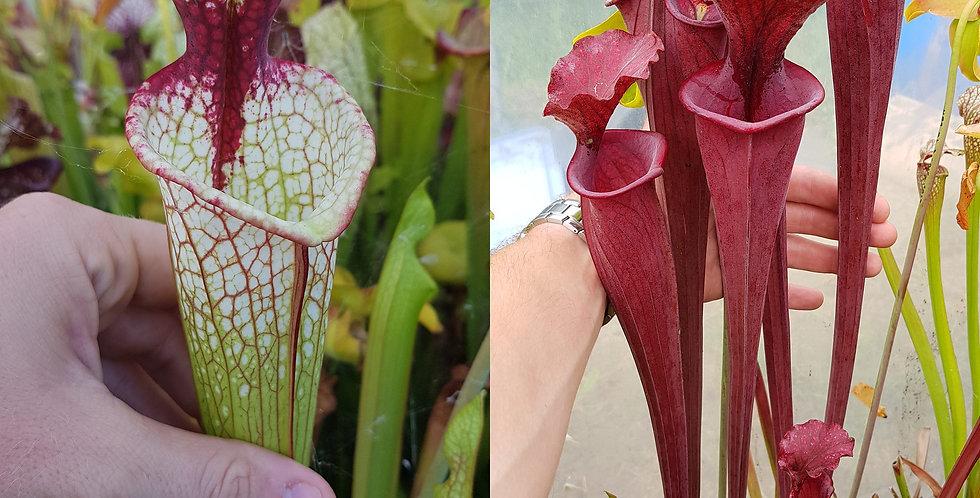 56) Pack of Sarracenia seeds 2019/2020, carnivorous plants rare