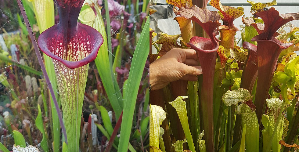 36) Pack of Sarracenia seeds 2019/2020, carnivorous plants rare