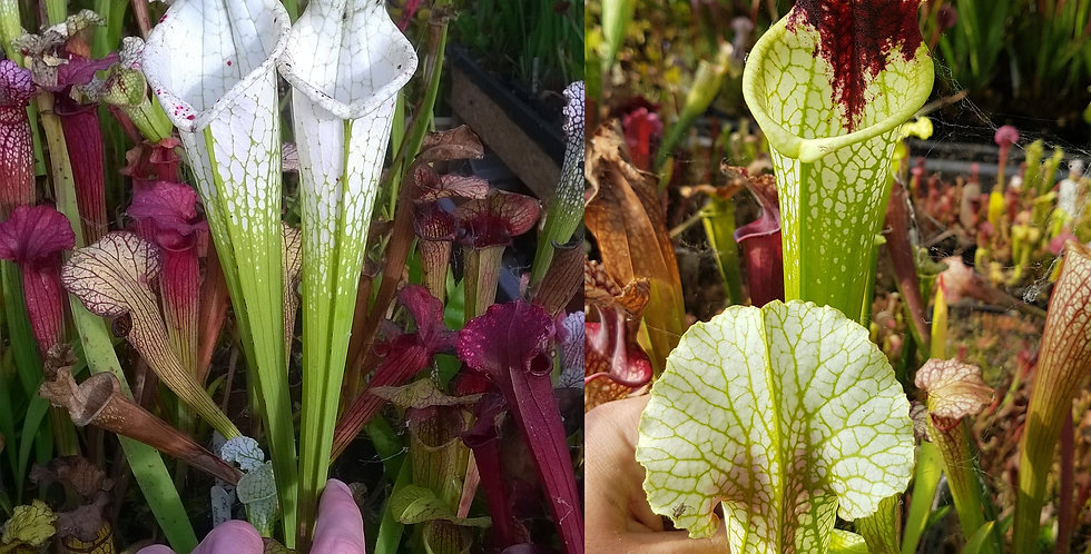 2) Pack of Sarracenia seeds 2019/2020, carnivorous plants rare