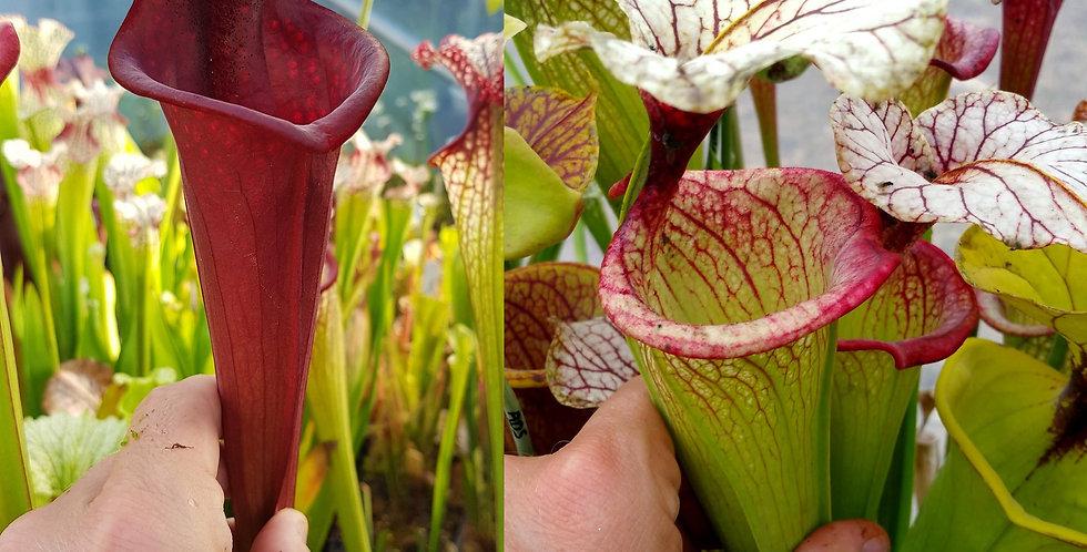 84) Pack of Sarracenia seeds 2020/2021