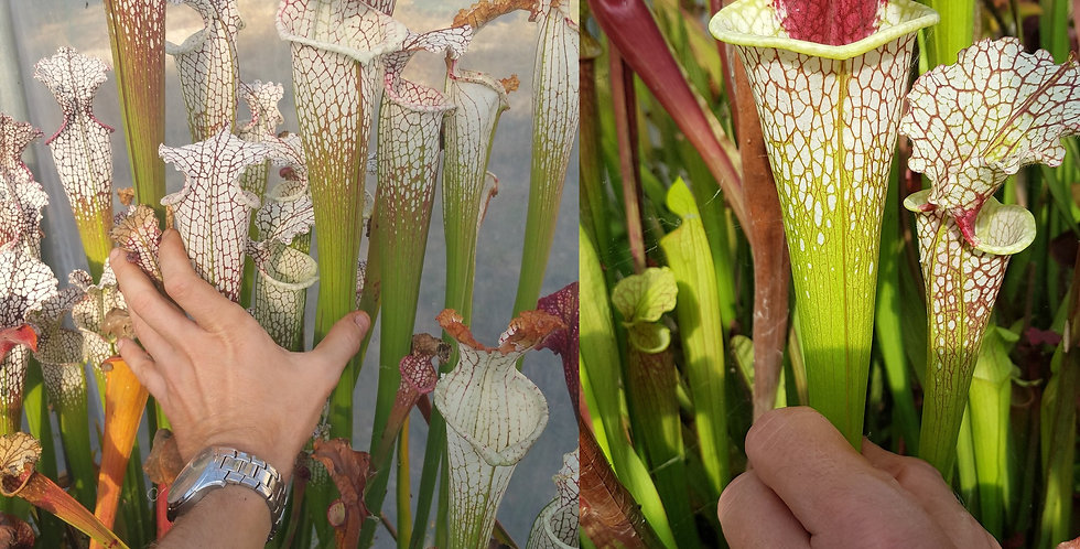 68) Pack of Sarracenia seeds 2019/2020, carnivorous plants rare