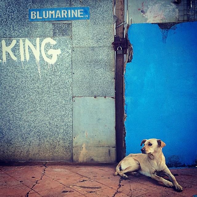 The blue marine king