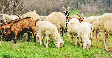 What-to-Consider-When-Raising-Sheep-and-