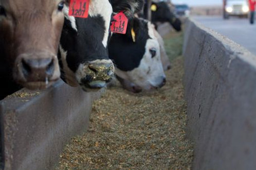 Campbell's Cow Feed