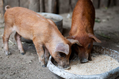Campbell's Pig Feed