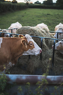 Cow Feeder.jpg