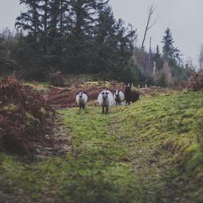 sheep-landscape_orig.jpg