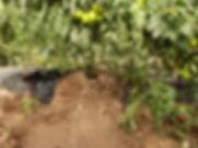 Tomate Biogea Pic 1.jpg