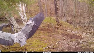 Saugus, MA Trail Camera Video