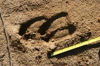 Moose Tracks in Sand