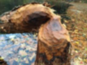 Tree Eaten by Beaver