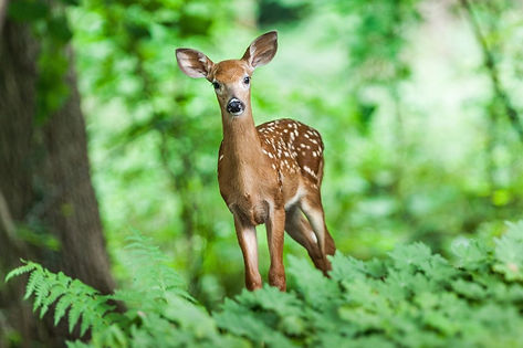 Deer in Woods