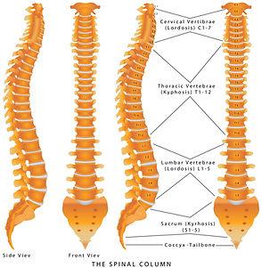 bones of the vertebrae