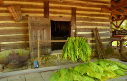 Tied tobacco hanging outside barn