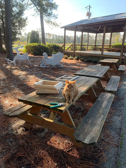 """Savage the museum cat """"helping"""" with making decorations outside on the picnic tables."""