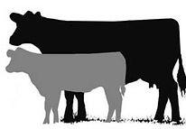 cow calf.jpg