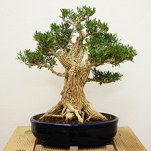 Boutique bonsai intérieur