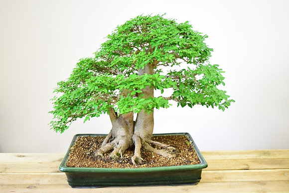Troène du Japon (Ligustrum)