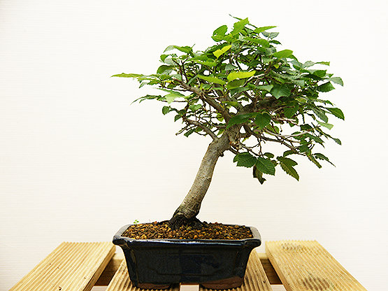 Charme commun (Carpinus Betulus)