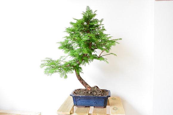 Metasequoia (Sapin chinois du Sichuan)