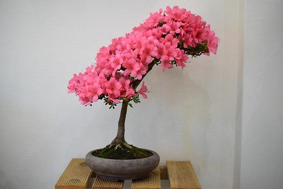 Azalée (Rhododendron Indicum)