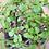Thumbnail: Pourpier en arbre (Portulacaria Afra)